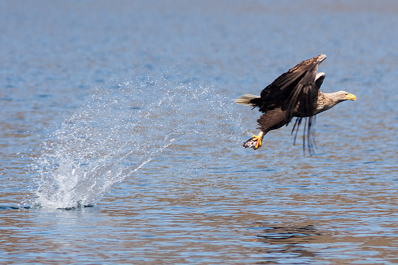 A White-tailed Eagle catches a fish