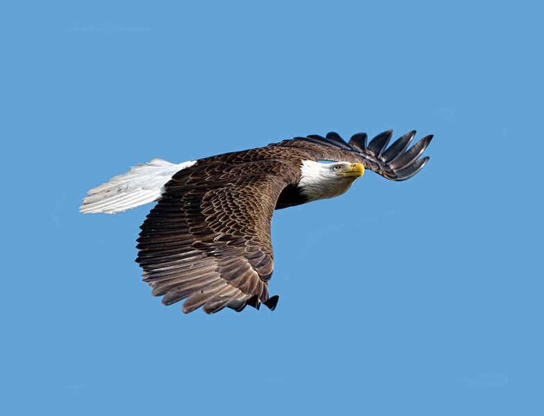 _DSC2401a Eagle in flight