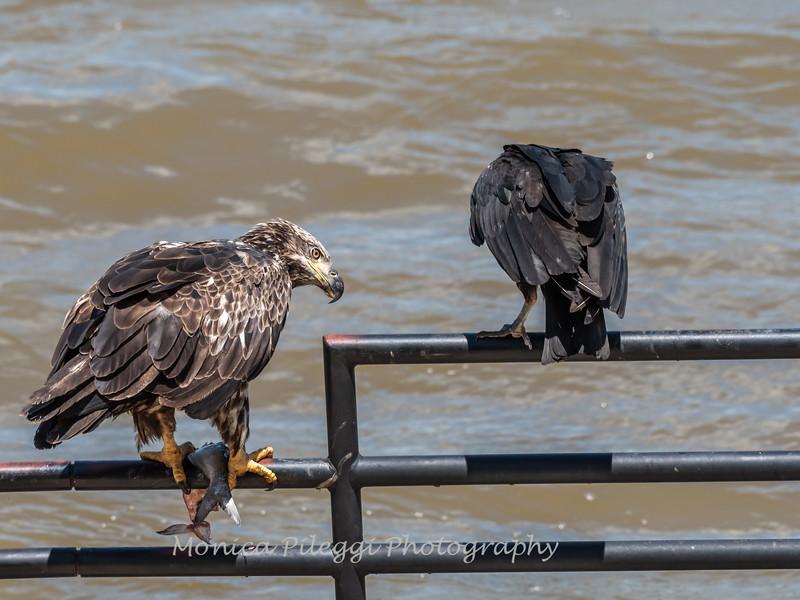 Eagles Conowingo Dam 22 June 2019-2901