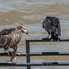 Eagles Conowingo Dam 22 June 2019-2901