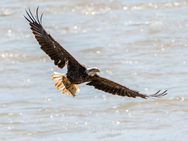 Eagles Conowingo Dam 22 June 2019-2693