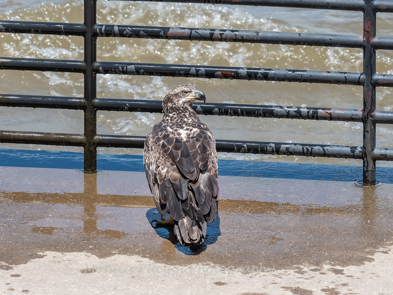 Eagles Conowingo Dam 22 June 2019-2955