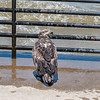 Eagles Conowingo Dam 22 June 2019-2955