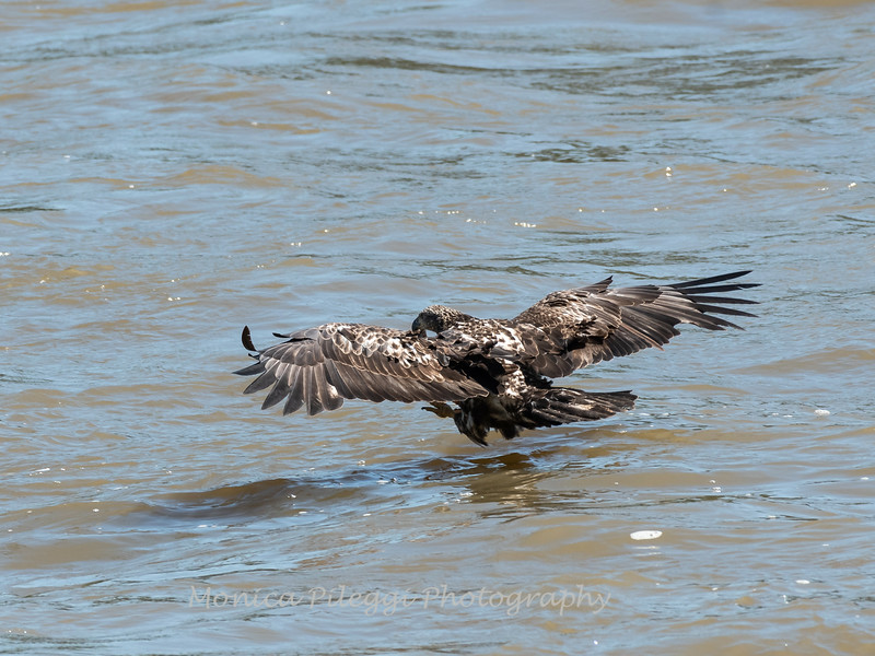 Eagles Conowingo Dam 22 June 2019-2538