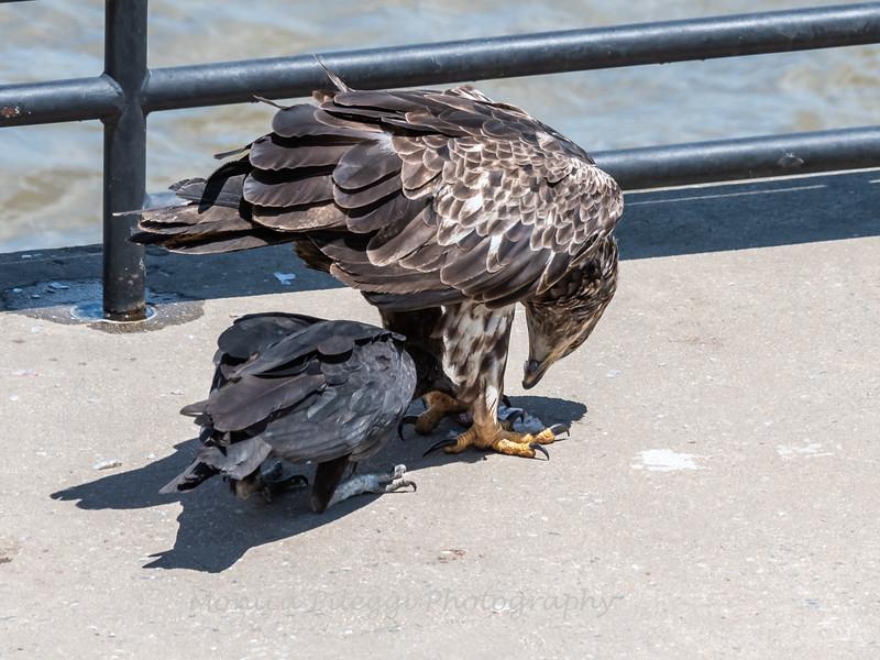 Eagles Conowingo Dam 22 June 2019-2944