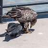 Eagles Conowingo Dam 22 June 2019-2944