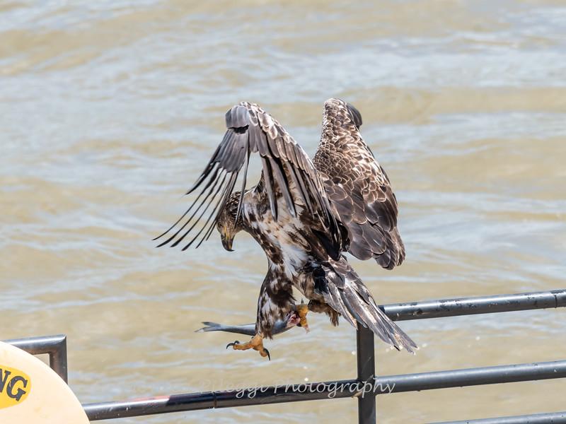 Eagles Conowingo Dam 22 June 2019-2836