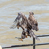 Eagles Conowingo Dam 22 June 2019-2836