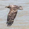 Eagles Conowingo Dam 22 June 2019-2781