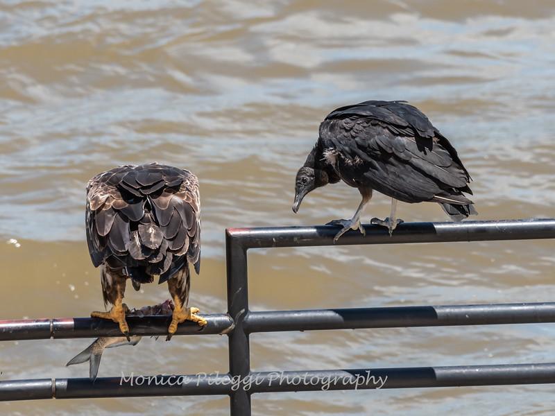 Eagles Conowingo Dam 22 June 2019-2881