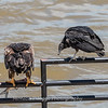 Eagles Conowingo Dam 22 June 2019-2881