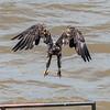 Eagles Conowingo Dam 22 June 2019-2990