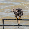 Eagles Conowingo Dam 22 June 2019-2813