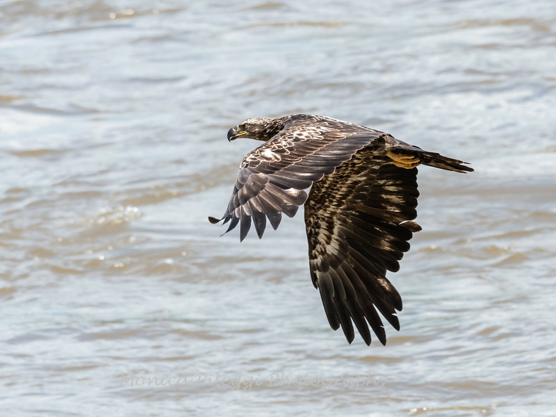 Eagles Conowingo Dam 22 June 2019-2782