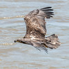 Eagles Conowingo Dam 22 June 2019-2779