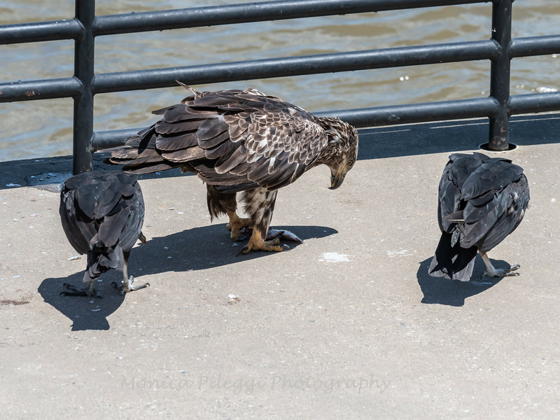 Eagles Conowingo Dam 22 June 2019-2941