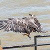 Eagles Conowingo Dam 22 June 2019-2835