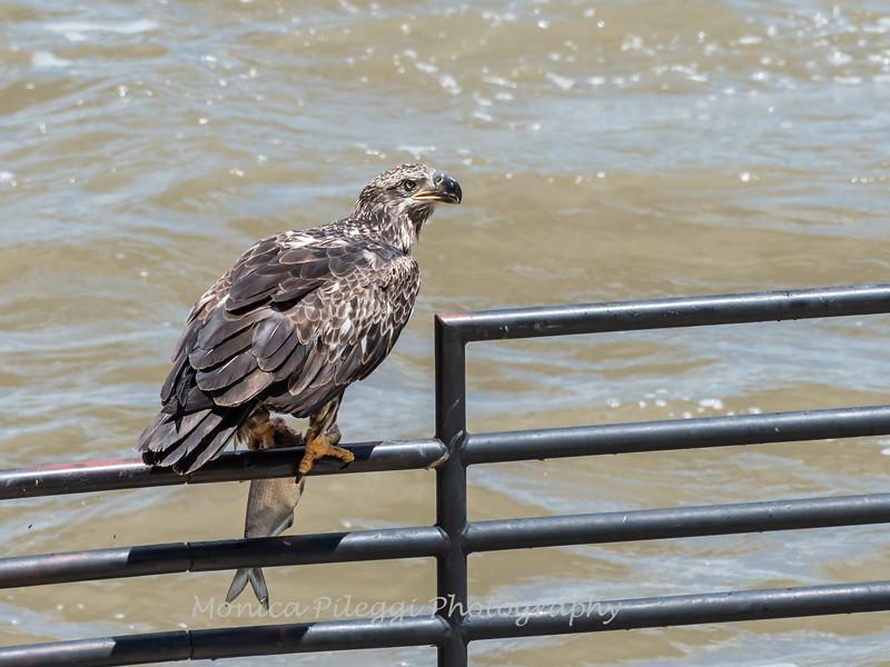 Eagles Conowingo Dam 22 June 2019-2849