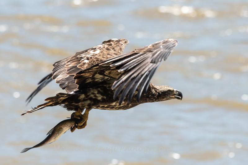 Eagles Conowingo Dam 22 June 2019-2563