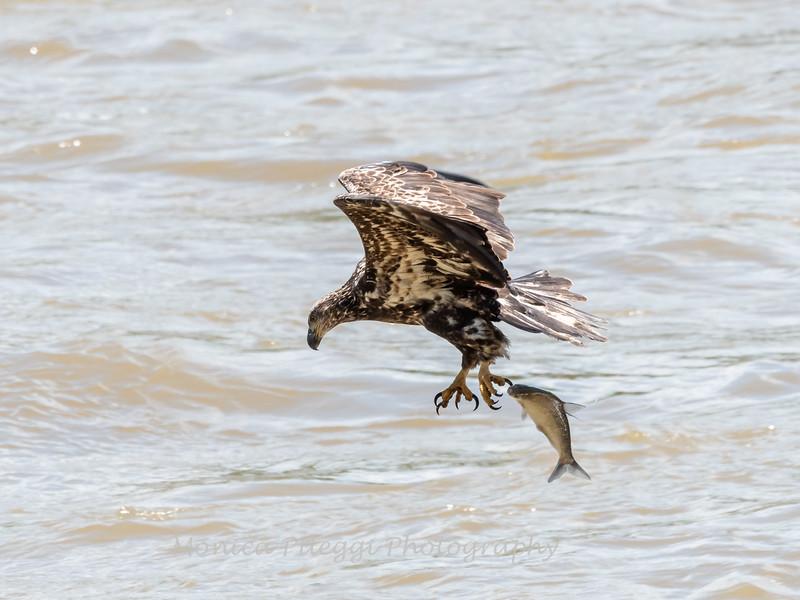 Eagles Conowingo Dam 22 June 2019-2777