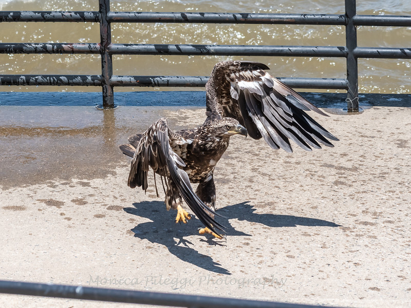 Eagles Conowingo Dam 22 June 2019-2959