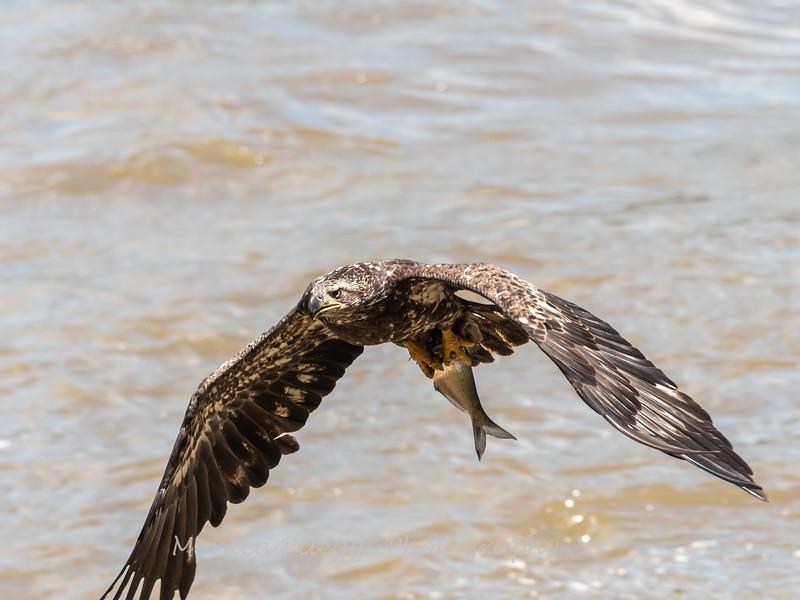 Eagles Conowingo Dam 22 June 2019-2796