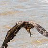 Eagles Conowingo Dam 22 June 2019-2796