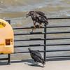 Eagles Conowingo Dam 22 June 2019-2865