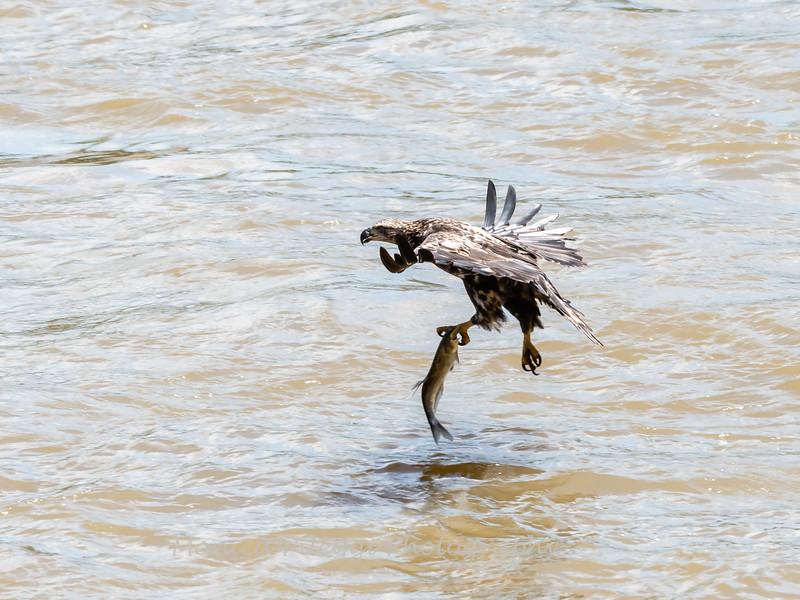 Eagles Conowingo Dam 22 June 2019-2767