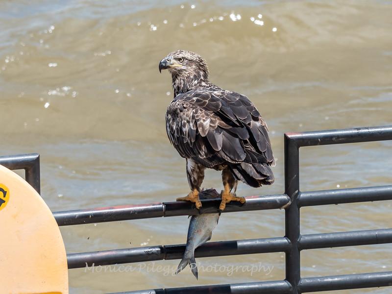 Eagles Conowingo Dam 22 June 2019-2843