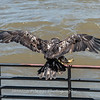 Eagles Conowingo Dam 22 June 2019-2961
