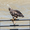 Eagles Conowingo Dam 22 June 2019-2824