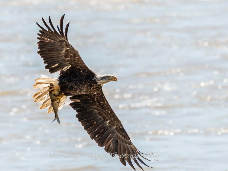Eagles Conowingo Dam 22 June 2019-2695