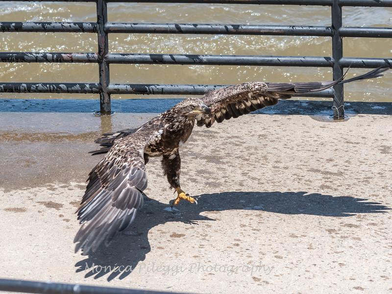 Eagles Conowingo Dam 22 June 2019-2958
