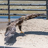 Eagles Conowingo Dam 22 June 2019-2958