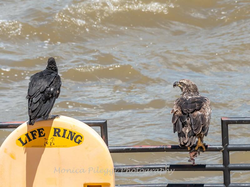 Eagles Conowingo Dam 22 June 2019-2908