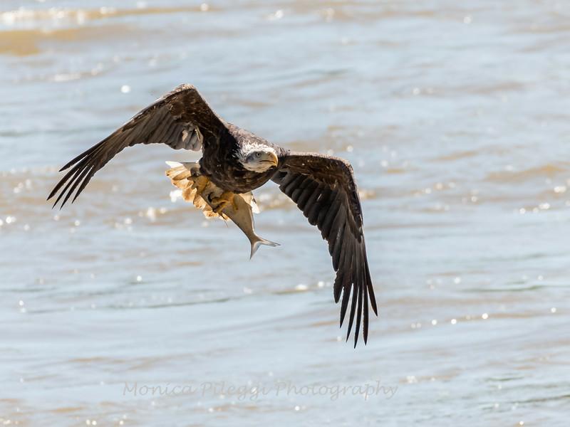 Eagles Conowingo Dam 22 June 2019-2688