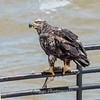 Eagles Conowingo Dam 22 June 2019-2863