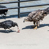 Eagles Conowingo Dam 22 June 2019-2936