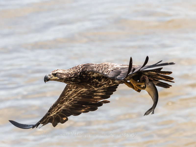 Eagles Conowingo Dam 22 June 2019-2801