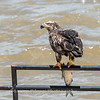 Eagles Conowingo Dam 22 June 2019-2816