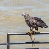 Eagles Conowingo Dam 22 June 2019-2819