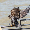 Eagles Conowingo Dam 22 June 2019-2837