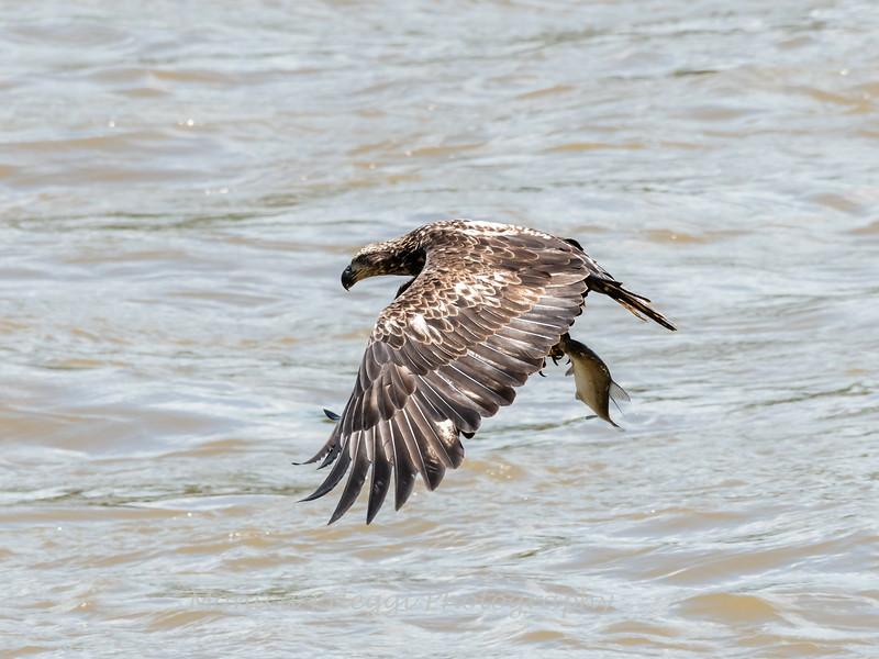 Eagles Conowingo Dam 22 June 2019-2776