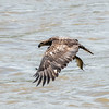 Eagles Conowingo Dam 22 June 2019-2776