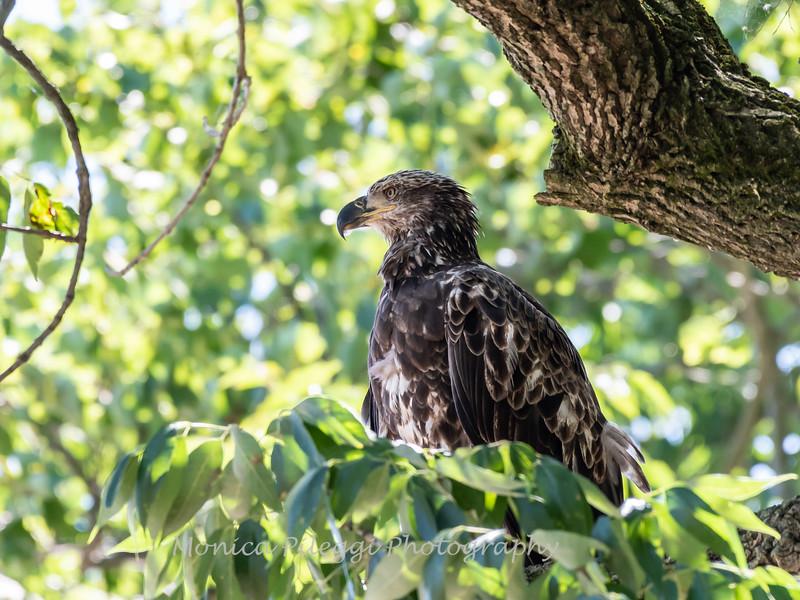 Eagles Conowingo Dam 22 June 2019-2606