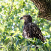 Eagles Conowingo Dam 22 June 2019-2606