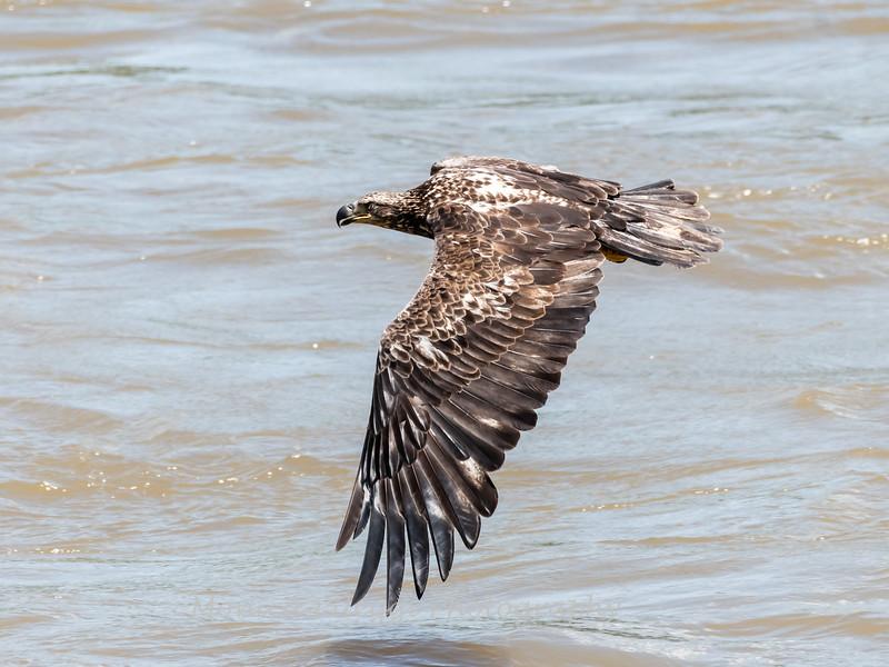 Eagles Conowingo Dam 22 June 2019-2778