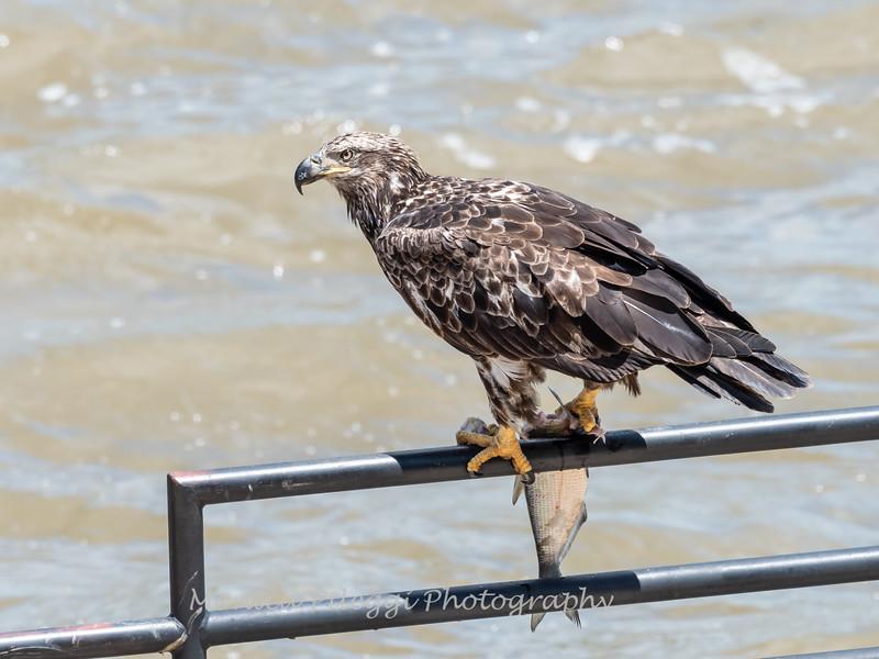 Eagles Conowingo Dam 22 June 2019-2831