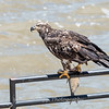 Eagles Conowingo Dam 22 June 2019-2831
